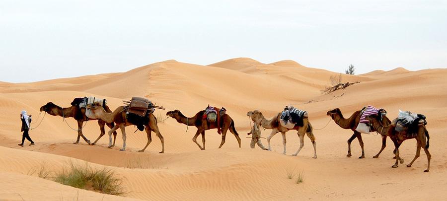 Jordan - Wadi Rum - Camels in Desert